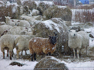 Photograph - Wintering Sheep by Christopher Mace