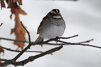 Photograph - Wintering White Throated Sparrow by Mike Martin