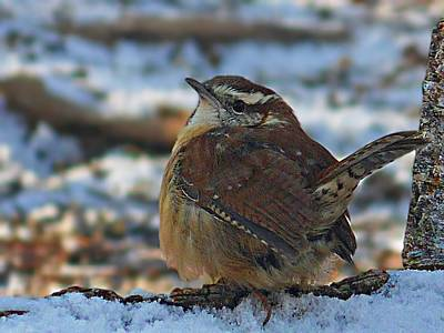 Photograph - Winterized Carolina Wren by Joe Duket