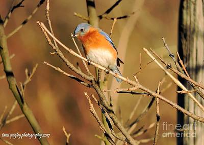 Photograph - Winter's Bluebird  by Tami Quigley