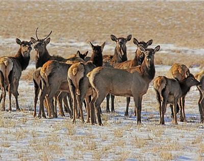Photograph - Winter's Elk Herd Montana by Jennie Marie Schell