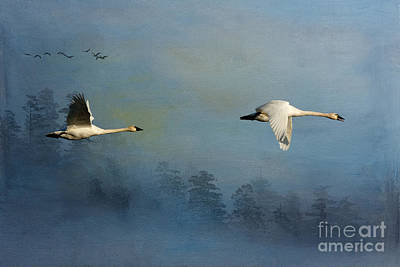 Tundra Swan Photograph - Winters Flight by Beve Brown-Clark Photography