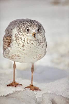 Photograph - Winters Gull by Karol Livote
