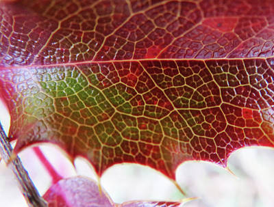 Photograph - Winter's Holly Leaf by Marie Jamieson