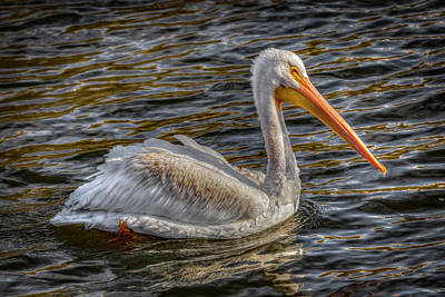 Photograph - Winter's Pelican by Ray Congrove