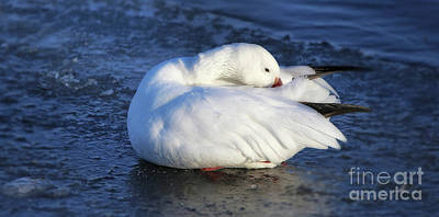 Photograph - Winter's Snow Goose by Elizabeth Winter
