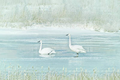 Photograph - Trumpeter Swan's Winter Rest Blue by Jennie Marie Schell