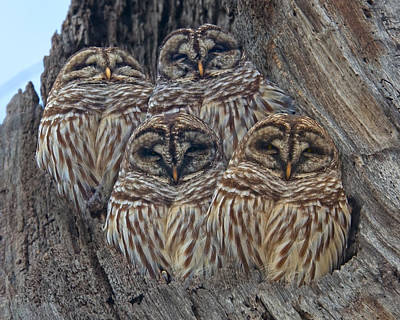 Peer Photograph - Wintry Barred Owls   by Betsy Knapp