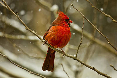 Photograph - Wintry Cardinal by Patricia Montgomery