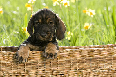 Baby In Basket Photograph - Wire-haired Dachshund Puppy by Jean-Louis Klein & Marie-Luce Hubert