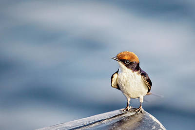 Photograph - Where Did That Bug Go? Wire-tailed Swallow by Kay Brewer
