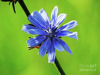 Photograph - Wisconsin Blue Chicory Flower by Ron Tackett