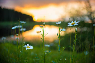 Art Print featuring the photograph Wisconsin Daisies At Sunset by Alex Blondeau