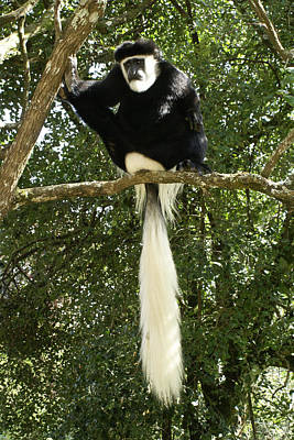 Photograph - Wise Old Monkey by Michele Burgess
