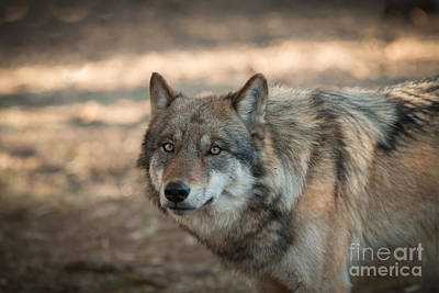 Timber Wolf Photograph - Wise Wolf by Ana V Ramirez
