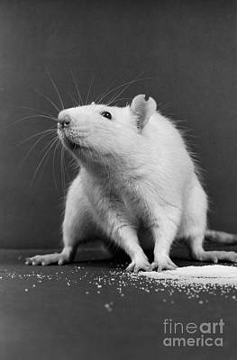 Behavioral Photograph - Wistar Rat by Science Source