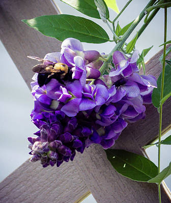 Photograph - Wisteria And Bee by Cathy Donohoue