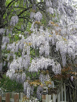 Photograph - Wisteria by Barbara Keith