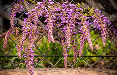 Photograph - Wisteria Blooming by Connie Cooper-Edwards