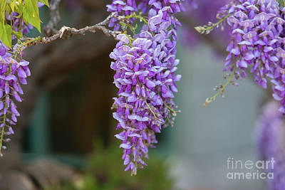 Photograph - Wisteria Blossoms by Glenn Franco Simmons