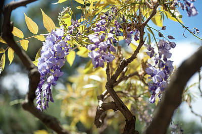 Photograph - Wisteria Branches by Jenny Rainbow