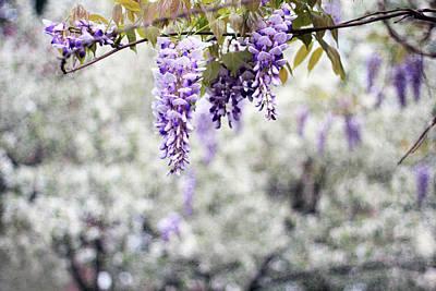 Floral Scene Garden Photograph - Wisteria by Darren Fisher