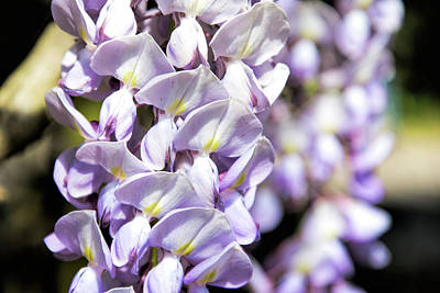 Photograph - Wisteria by Ed Waldrop