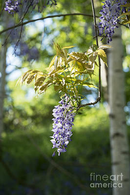 Wisteria Photograph - Wisteria Floribunda In Sunlight by Tim Gainey