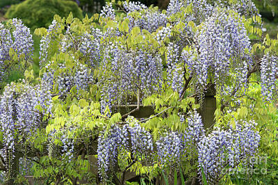Photograph - Wisteria Floribunda Multijuga by Tim Gainey