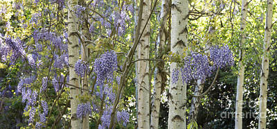 Floribunda Photograph - Wisteria Floribunda Panoramic by Tim Gainey