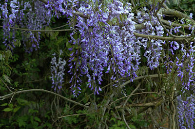 Photograph - Wisteria Haven Two by Jeanette C Landstrom
