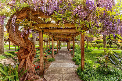 Photograph - Wisteria In Bloom by Susan Rissi Tregoning