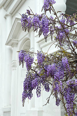 Photograph - Wisteria In Charleston by Catherine Sherman