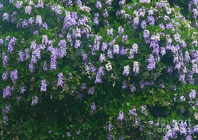 Photograph - Wisteria In Georgetown Texas by Janette Boyd