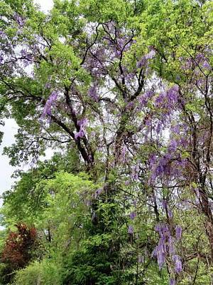 Photograph - Wisteria In The Oaks by Kathleen Bishop