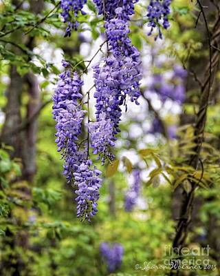 Photograph - Wisteria In The Woods by Sharon Woerner