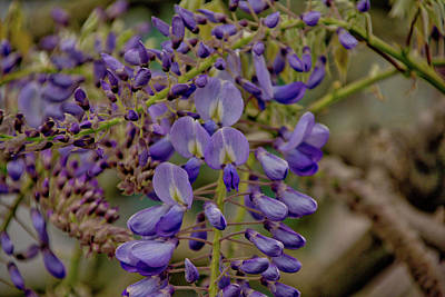 Photograph - Wisteria by Ingrid Dendievel