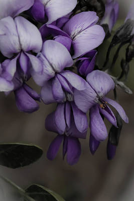 Photograph - Wisteria by Jill Smith