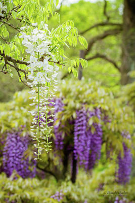 Photograph - Wisteria by Ronald Hoehn
