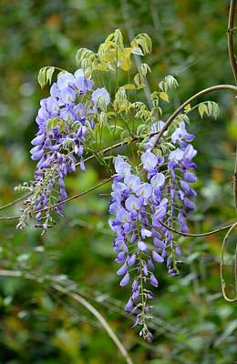 Photograph - Wisteria Sinensis - Chinese Wisteria Flowers by rd Erickson