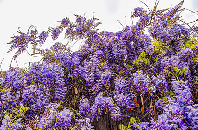 Photograph - Wisteria Spring Bloom by Connie Cooper-Edwards