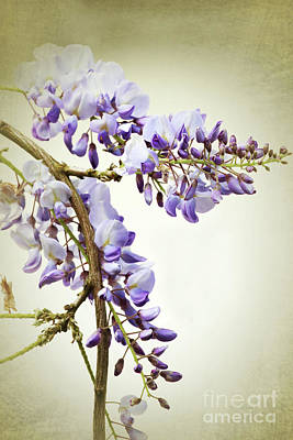 Photograph - Wisteria Textured by Terri Waters