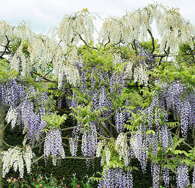 Photograph - Wisteria by Tim Gainey