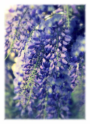 Violet Bloom Photograph - Wisteria Whimsy by Jessica Jenney