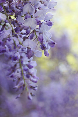 Photograph - Wisteria's Soft Floral Whispers by Jennie Marie Schell