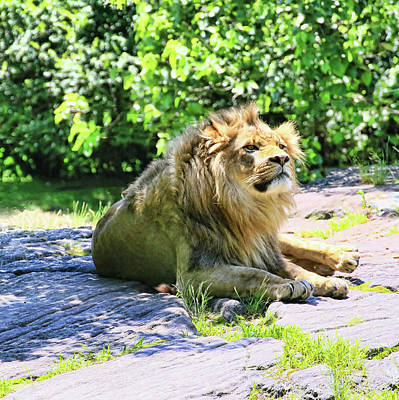 Photograph - Wistful Lion by Allen Beatty
