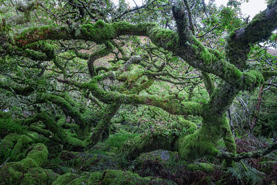 Baum Wall Art - Photograph - Wistman's Wood - Dartmoor by Joana Kruse