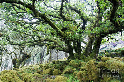 Photograph - Wistmans Wood Dartmoor by Tim Gainey