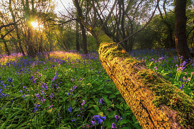 Photograph - Wistow Wood Bluebells 2 by James Billings
