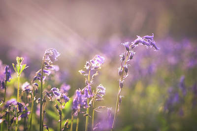 Photograph - Wistow Wood Bluebells 3 by James Billings